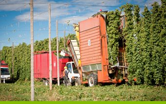Life of a Hop - Bine Picking